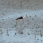 Pied Stilt on the Miranda shoreline