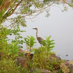 Peace Valley Park Heron