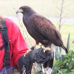 West Coast Falconry