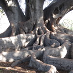 ‪Moreton Bay Fig Tree‬