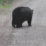 bear roaming in Glacier National Park