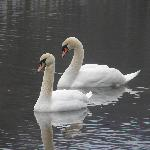 Beautiful swans!