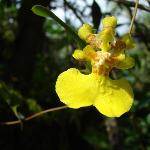Oncidium sp.