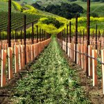 California is our vineyard!