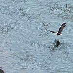  Bald Eagle flying over the Rio Grande River