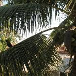  Coconut Tree in front of their house