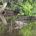  Small &#39;gator sunning himself in the St. Sebastian River