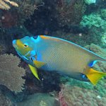 queen angel fish off Utilia