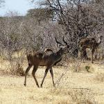 Kudu at Ruaha National Park