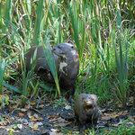 Giant Otter - mother and cub