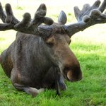 Ahtari Zoo, a moose
