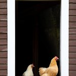 Chickens at barn window