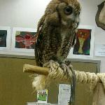  Eastern Screech Owl on display at the Okeeheelee Nature Center in West Palm Beach on 1/28/12.