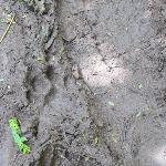  A big cat print in the mud!