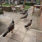 Hotel peacocks