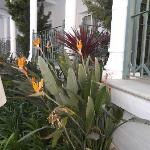 Bird of Paradise Flowers by the pool