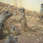 Cute little meercats!