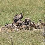  Vultures on a giraffe killed by lions