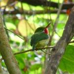  Puerto-Rican Tody, Ceiba Country Inn