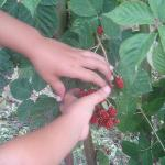 Berry picking, kids just have a blast before breakfast for breakfast!
