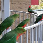 King Parrot family outside our rooom