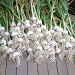 produce from the garden - best fresh summer garlic