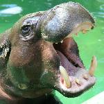  Pigmy Hippo