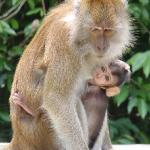 Macaque and young