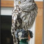 Hunter Our Barred Owl