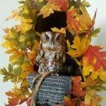 Dylan Our Eastern Screech Owl