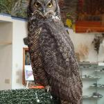 Sarah our Great Horned Owl