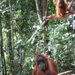  Orang Utans in the National Park