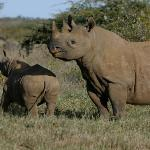 Black Rhinos in Sweetwaters Sanctuary