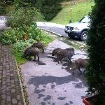  wild-boars in front of hotel, tha&#39;ts cool :o))