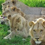Some of the Lions in the Pred camp