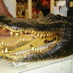 alligator head on the counter