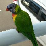 parrot on balcony