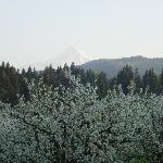 Pheasant Valley in blossom with our Mt Hood View!