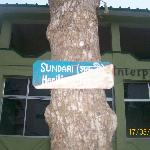 Sundari Tree ..on which Sunderbans is named