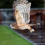 Dartmoor Hawking Falconry Experience