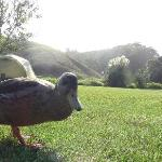  Bagel the duck at our campsite