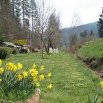 Daffodil Time at Pine Hill Motel - Quincy, CA.