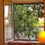 Lemon tree in the garden just outside our room