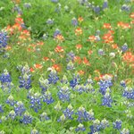 Bluebonnets and Indian Paint wildflowers on the course
