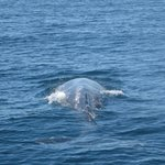 Gray Whale. Look close and see the tail just below the surface.
