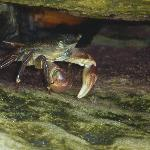  shore crab