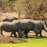 White rhinos coming for a drink