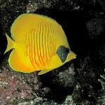  Masked butterflyfish