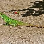  Green Iguana