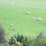close up of the sheep taken through the window